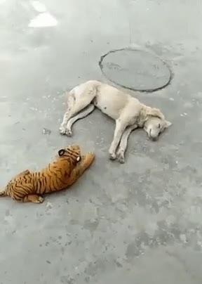 Tiger catch dog